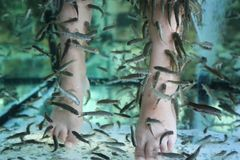 Fish Spa pedicure Rufa Garra treatment. Feet and fish in blue water royalty free stock photos