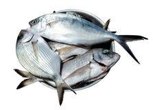 Fish sparus aurata  in metal plate Stock Image