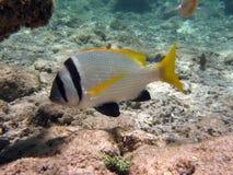 Fish : Sparus auratus Stock Image