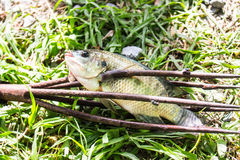 Fish by spear thrust Royalty Free Stock Images