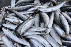 Fish a sprat fresh Stock Image