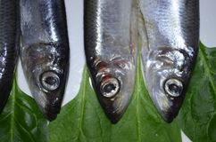 Fish sprat upside down. Overcrowded with fish. Upside down Stock Image