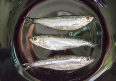 Fish sprats Stock Photography
