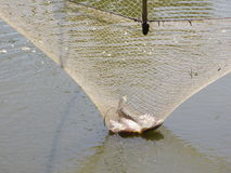 Fish in square dip net Stock Photography
