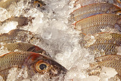 Fish stand with ice and fishes Stock Image
