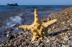 Fish-star on coral beach near Eilat, Israel Royalty Free Stock Images