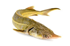 Fish starlet. Sturgeon fish with a light shade on white background Royalty Free Stock Images