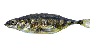 Fish stickleback  isolated. Fish stickleback isolated on white background Stock Images