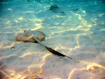 Fish : stingray. A little brown common stingray near to the beach, in Maldives, with a black tail Royalty Free Stock Images
