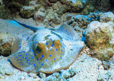 Fish stingray on the sea bed.  Royalty Free Stock Photos