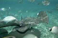 fish stingrays tropical 免版税库存图片