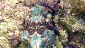 Fish stone is masked underwater in ocean of wildlife Philippines. stock footage