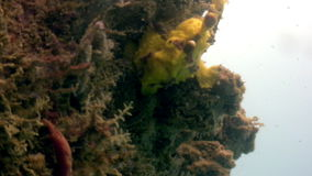 Fish stone is masked underwater in ocean of wildlife Philippines. stock video