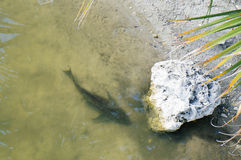 Fish and stone in a small pond Stock Photo