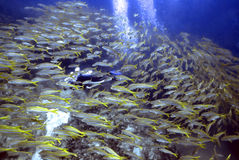 Fish Storm. Diver hidden by huge school of snapper Royalty Free Stock Photos