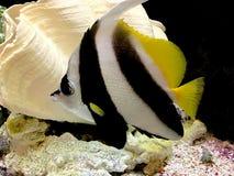 Yellow Black Striped Fish Aquarium Stock Images - Download ...