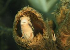 Fish - Striped blenny. Fish with black stripes Striped blenny - Escenius prooculis hiding in hole in old trunk in Lembeh Strait, North Sulawesi, Indonesia stock photography