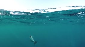 Catching fish from a boat. Fish struggling at the ocean surface after being caught stock video