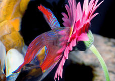 Fish studying flower. A closeup of a small tropical fish looking into and studying a colorful flower outside the fishbowl Stock Photo