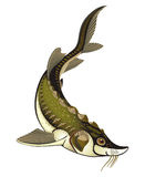 Fish sturgeon on a white background. Vector drawing fish sturgeon on a white background Royalty Free Stock Photos