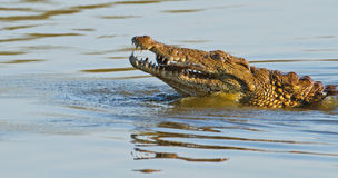 Fish supper. African crocodile snacks on fresh fish in Kruger National Park Stock Image