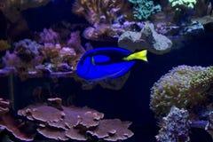 Fish Surgeon blue (Royal) Royalty Free Stock Images