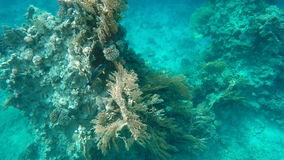 A fish surgeon swims over a coral reef. Red sea stock video