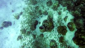 Fish swarm swimming around corals in asian ocean royalty free stock images