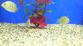 Fish swim in an aquarium. Different fish swim in an aquarium stock video footage
