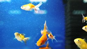 Fish swim in an aquarium. Different fish swim in an aquarium stock footage