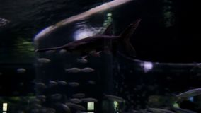 Fish swim in the aquarium. Tunnel under water. Marine life underwater.  stock footage