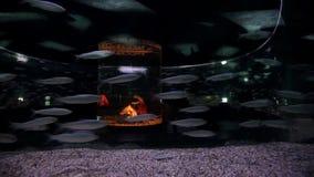 Fish swim in the aquarium. Tunnel under water. Marine life underwater.  stock video