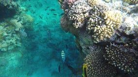 Fish swim in clear sea water among reefs stock video