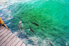 Fish swim in the clear water at the pier. Plitvice, National Park, Croatia stock photography