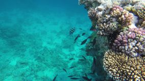 Fish swim in clear water. Red sea.  stock video