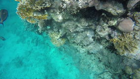 Fish swim among corals stock footage