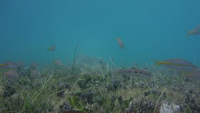 Fish swim in foreground with turtle eating in background. Small fish swim around in the foreground as a large green sea turtle feeds on grass in the background stock video footage