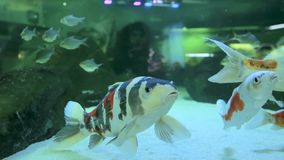 Fish swim in a freshwater aquarium. Close up stock video