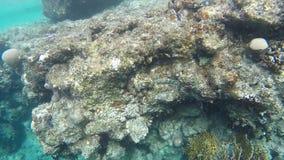 Fish swim near coral reefs stock video
