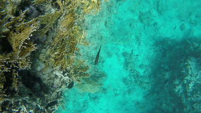 Fish swim near coral. Slow motion. Fish swim near coral. Video in a slowed fourfold. Slow motion stock footage