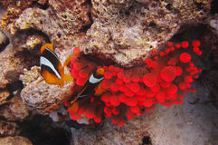 Fish swim near red corals Royalty Free Stock Photography