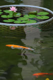 Fish swim next to Lotus Stock Images