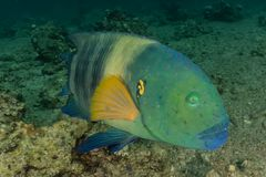 Fish swim in the Red Sea. Colorful fish, Eilat Israel stock photography