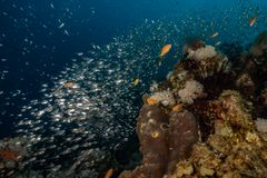 Fish swim in the Red Sea. Colorful fish, Eilat Israel stock photo
