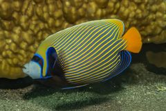 Fish swim in the Red Sea. Colorful fish, Eilat Israel stock image