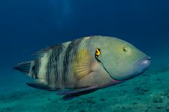 Fish swim in the Red Sea. Colorful fish, Eilat Israel royalty free stock photography