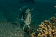 Fish swim in the Red Sea. Colorful fish, Eilat Israel stock photos