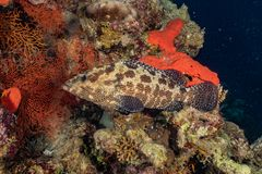 Fish swim in the Red Sea. Colorful fish, Eilat Israel stock images