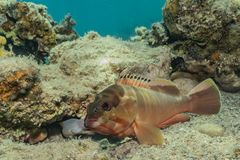 Fish swim in the Red Sea. Colorful fish, Eilat Israel royalty free stock photo