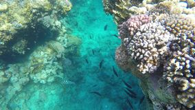 Fish swim among reefs. In clear water stock footage